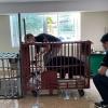 Cứu hộ cá thể gấu ngựa tại Điện BIên