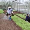 Điểm sáng trồng rau an toàn ở Hà Nội
